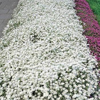 这种多年生草本植物易于从夏季地面覆盖种子中的雪中长出,是一种低生长,匍匐,非常致密和垫状的草本植物,6-12英寸宽,12-24英寸宽。虽然它不容忍步行交通,但夏季的雪在一般开花地被植物中表现良好。