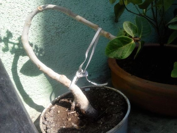 """如何开始盆景树。古代种植盆景的艺术已有一千多年的历史。许多人不知道一个简单的盆栽植物是字面意义上的盆景,""""盆栽植物""""。然而,有一个大..."""