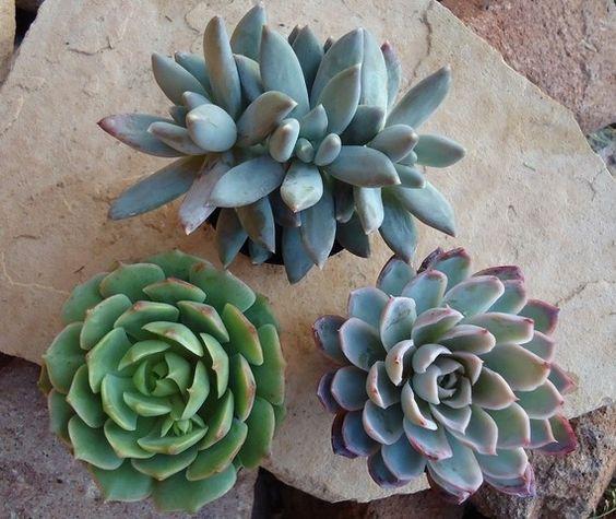 多肉植物是如此受欢迎和多才多艺!这些植物可以用来创造一个有趣的容器花园或玻璃容器(那些正在从70年代大幅回归)或使用它们作为派对或婚礼的好处。这么多创意机会,这么短的时间!查看此列表中的其他图片,以查看我最新项目中的一些多肉植物,白色粉刷,陶瓷陶瓷罐,也可在单独的列表中找到。多肉植物是世界上最耐寒,最耐旱的植物之一,只要种植在多孔的仙人掌/多汁土壤中,给予适当的排水,每日强光,而不是过度浇水,是非常容易维护的。我建议购买如果您的植物在温度可能低于35-40度的地方旅行,则为您的植物提供一个热量包(单独列出) - 极度寒冷可能会损坏或杀死多肉植物。如果您有即将举办的活动,并希望保留任何尺寸的收藏品,或者要求特殊订单,请给我拍一张照片。我将打折大订单:)你将获得三个完善的植根,与图片相同的品种(1只小宝石,1只景天Hernandzii,1只E. Ramillette)目前种植在2英寸花盆中��送过裸根和包装非常小心。它们将仅在周一或周二通过USPS优先邮件发送。如果您订购其他物品,我会尝试使用统一费率箱来节省邮资。谢谢你的期待!