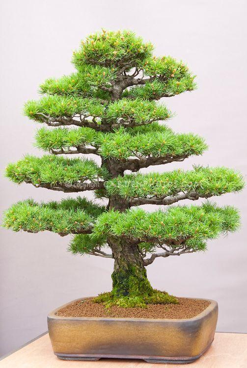 日本盆景树|盆景日本白松松属parviflora正式直立|植物...