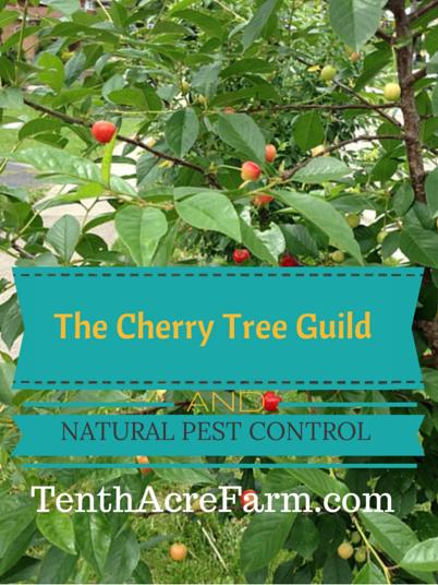 樱桃树是家庭水果生产的不错选择,但害虫有时会成为问题。以下是我用永续栽培协会种植樱桃树的方法,以减少害虫并产生丰富的樱桃收成。
