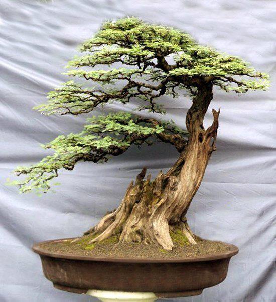 盆景...一个幸存者!爱枯朽的树干!精致的叶子和优秀的修剪赋予了树的逼真运动