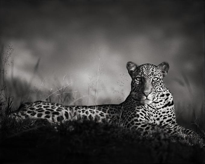 Leopard Staring, Masai Mara, 2010.