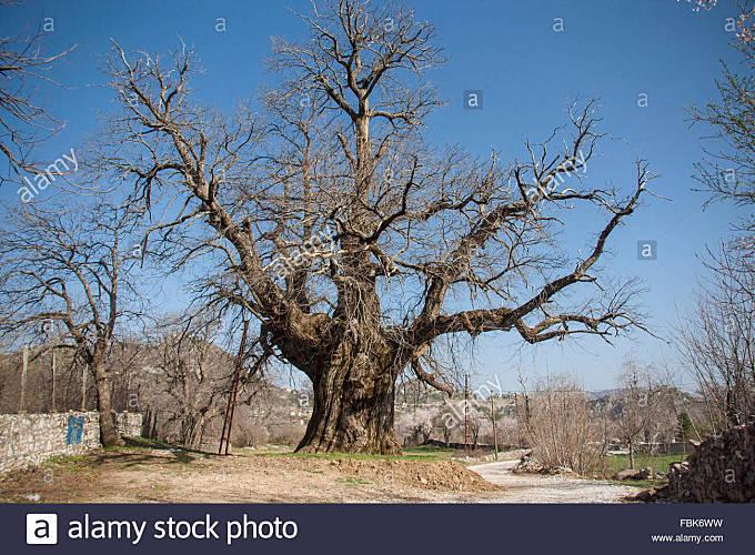 Old huge tree - Stock Image
