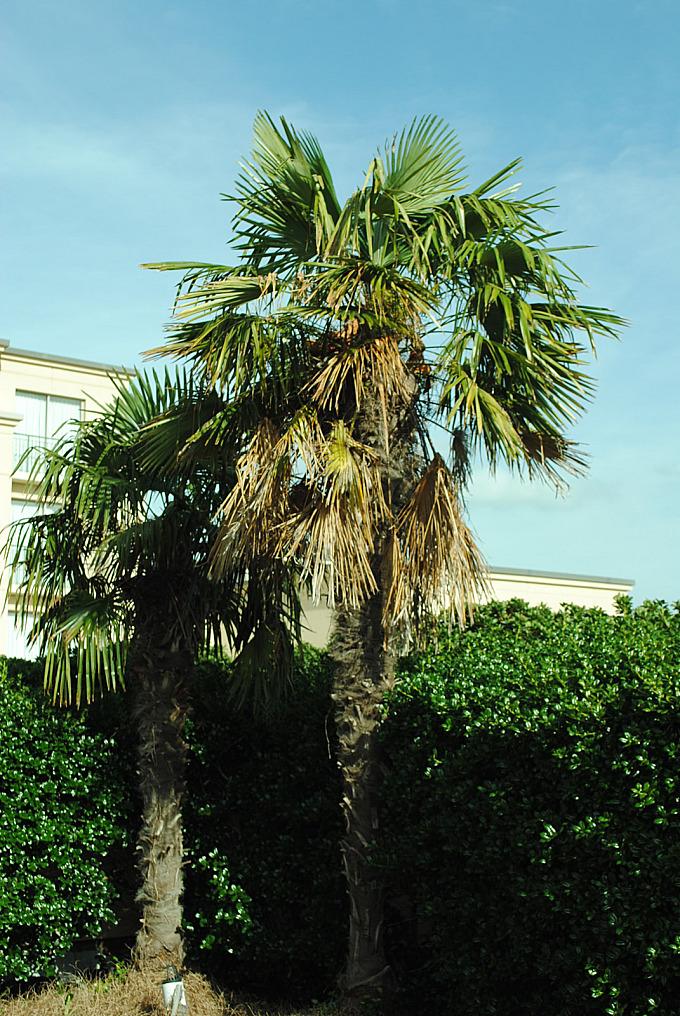 Texas palm trees