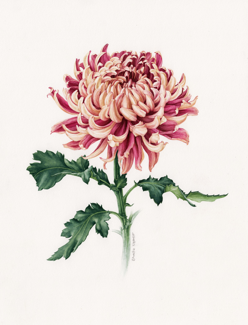 Japanese Chrysanthemum - Botanical Portrait