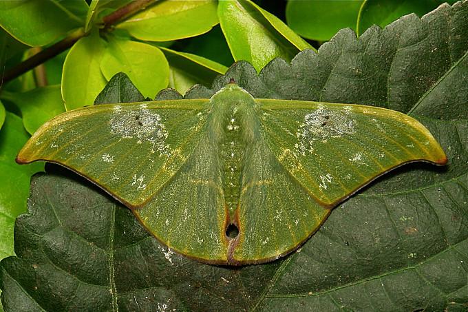 Geometrid Moth (Tanaorhinus viridiluteatus, Geometrinae, Geometridae)