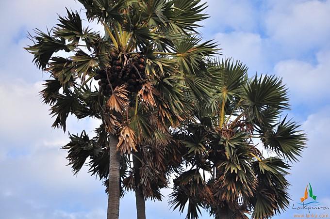 The Palmyrah Palm Tree