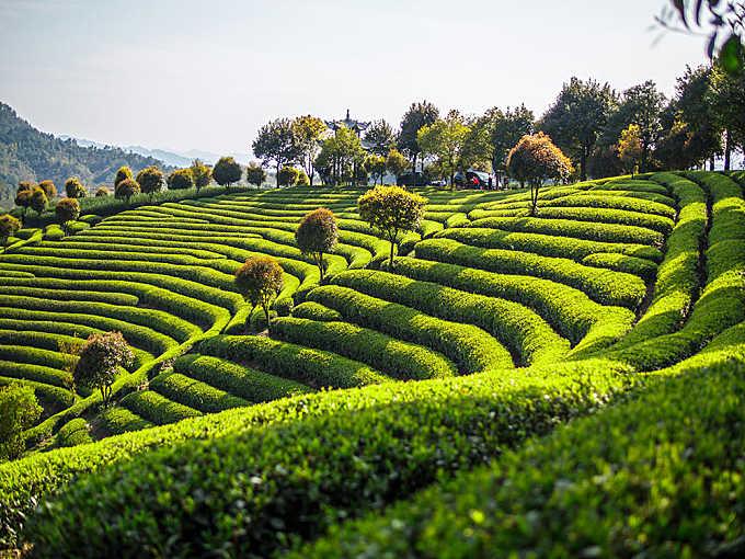 yiwu tea garden