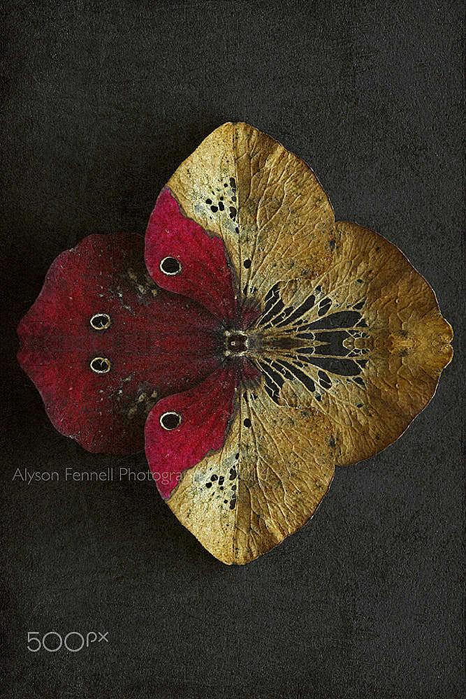 Hydrangea Butterfly Petal