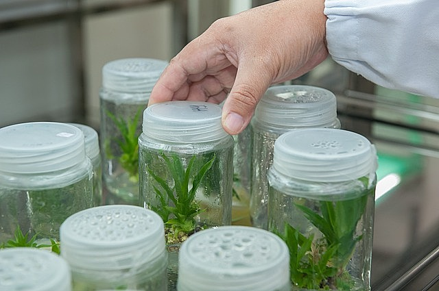 plant tissue culture facility, biotechnology research institute, universiti malaysia sabah