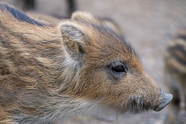 piglet, launchy, boar