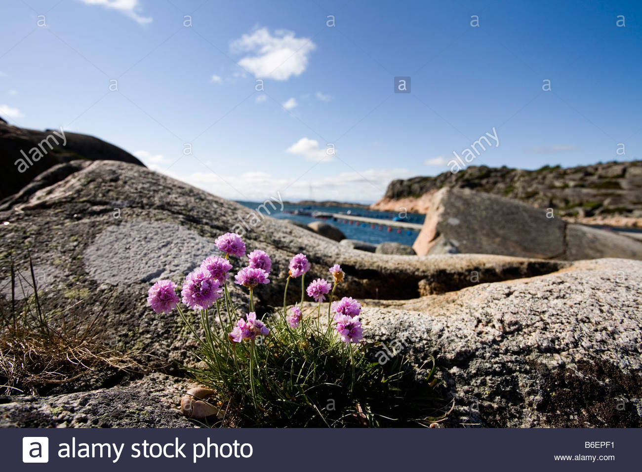Pink flowers on rock - Stock Image