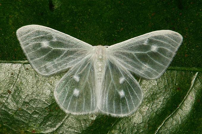 Lymantriine Moth (Arctornis sp., Lymantriinae, Erebidae)