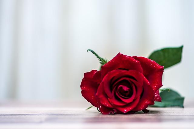 rose, flower, romantic