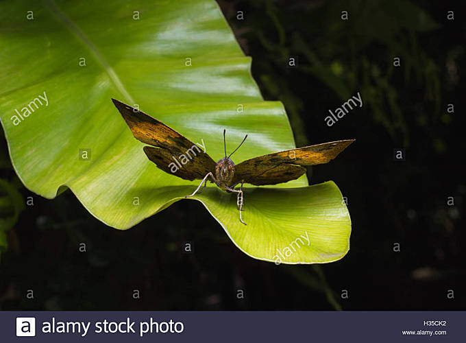 The kallima inachus butterfly bears a remarkable resemblance to a dead leaf.On green leaf - Stock Image