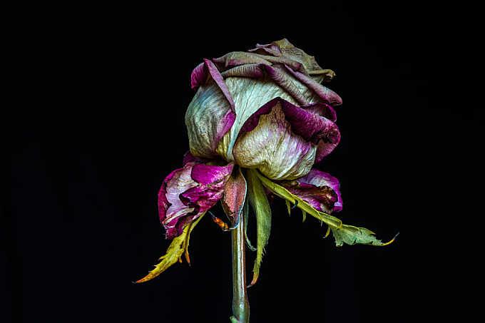 A Shade of Rose