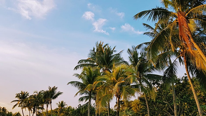Low Angle Shot of Coconut Trees