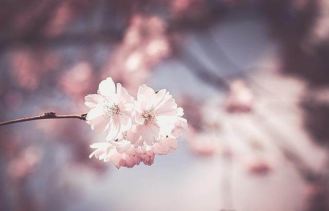 pink flower tree bloom spring floral white pink flowers botany garden botanical nature petal blossom spring spring spring spring spring