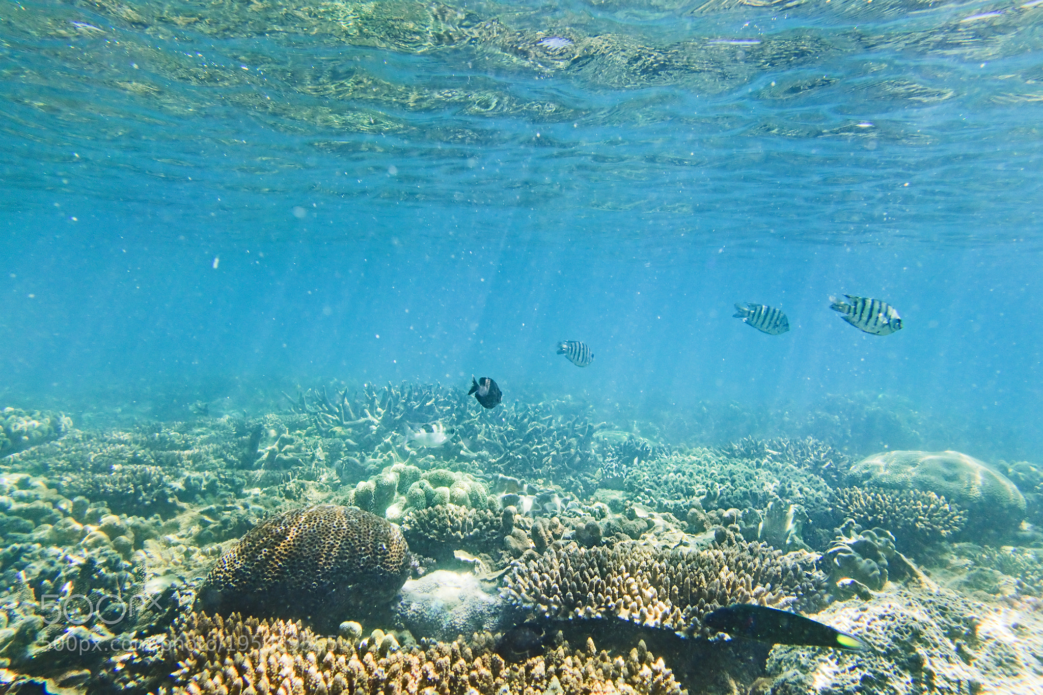 Underwater sealife of Coral sea Great Barrier Reef in Australian pacific waters during submerged snorkeling swimming. Striped fish and colonies of corals live in shallow saltwater.