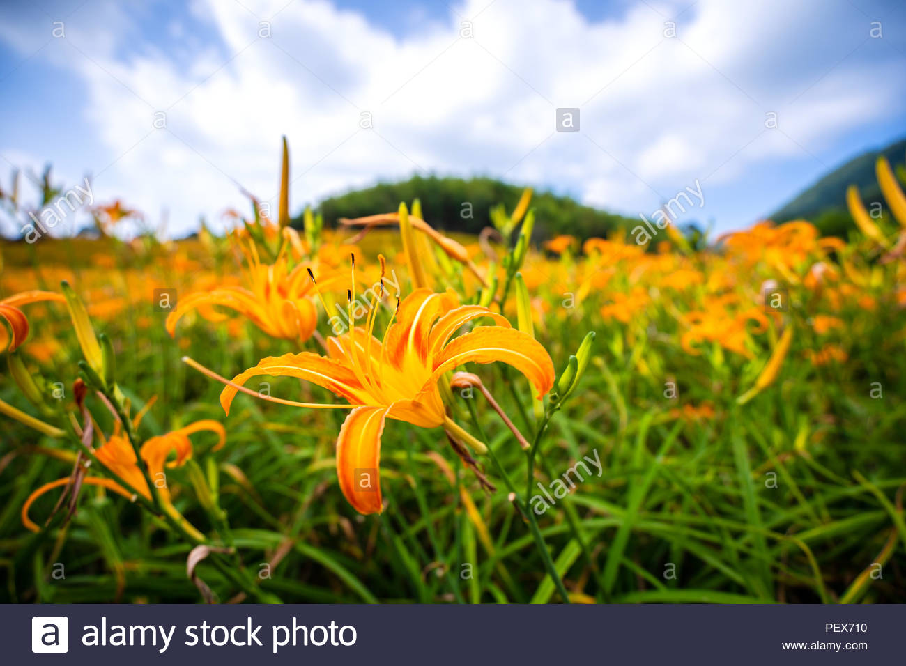 Orange daylily flower(Tawny daylily) bloom over the whole Sixty Rock Mountain(Liushidan mountain) with the background of bright blue sky and white clo - Stock Image
