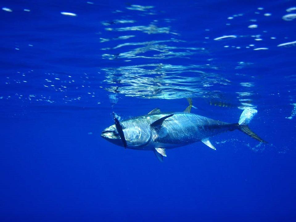 金枪鱼, 鱼, 钓鱼, 海鲜, 新鲜, 水, 水下, 海洋, 游泳