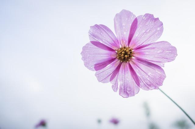 cosmos flower, flower, garden