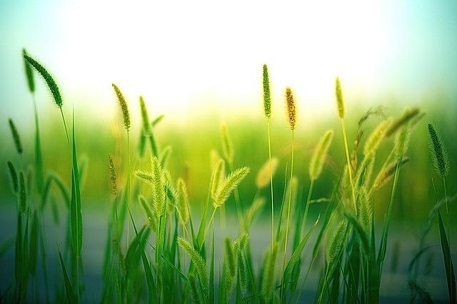 grass, grasses, nature