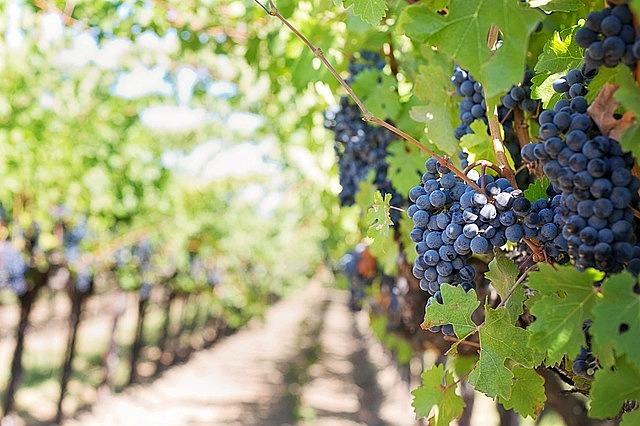 purple grapes vineyard napa valley napa vineyard grapes vine grapevines wine grapes vineyard vineyard vineyard vineyard vineyard grapes grapes vine