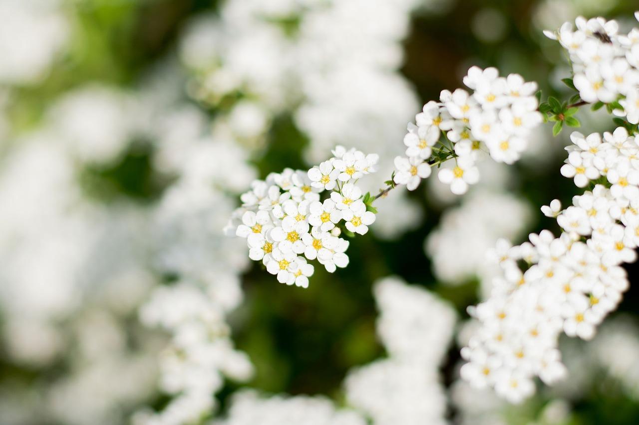 稀饭, 白花, 白色的花, 白色的花朵, 植物, 春天的花, 春