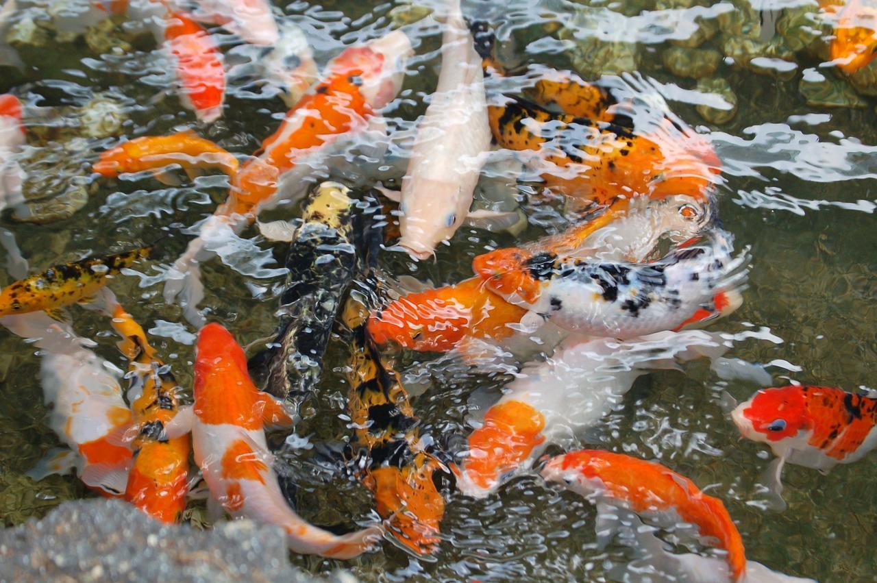 锦鲤鱼, 池, 锦鲤, 鱼, 水, 日本, 动物, 多彩, 宠物