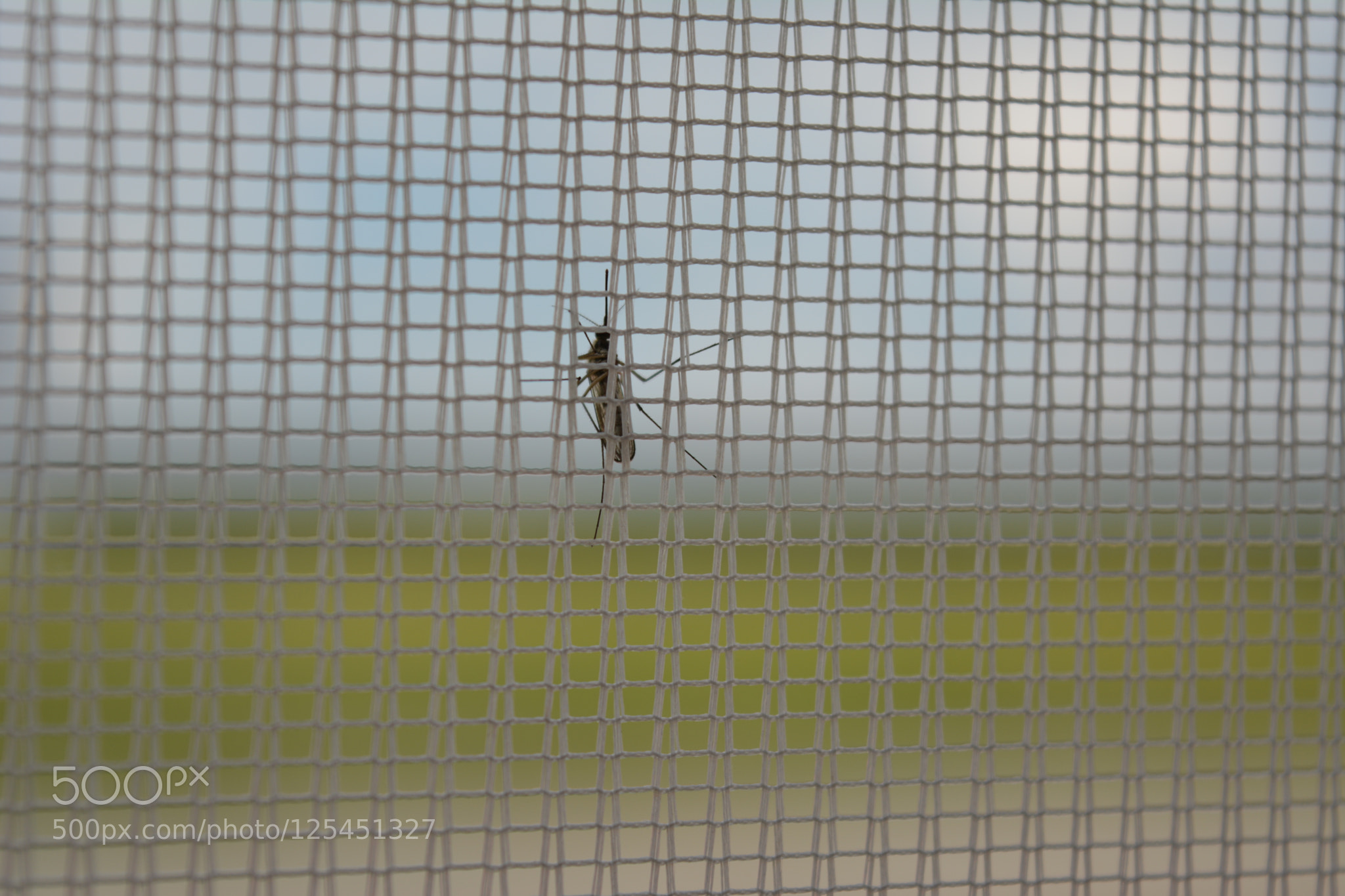 mosquito on net