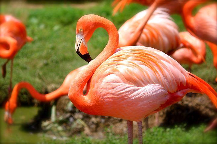 火烈鸟, 鸟, 粉红色, 自然, 动物, 野生动物, 野生, 热带