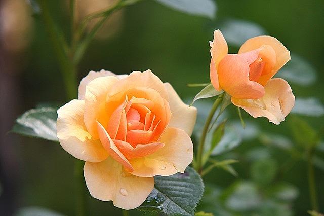 rose flower blossom bloom rose bloom plant rose blooms rose rose rose rose rose