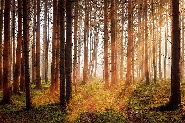 forest, trees, sunbeam