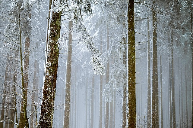 forest, fog, trees