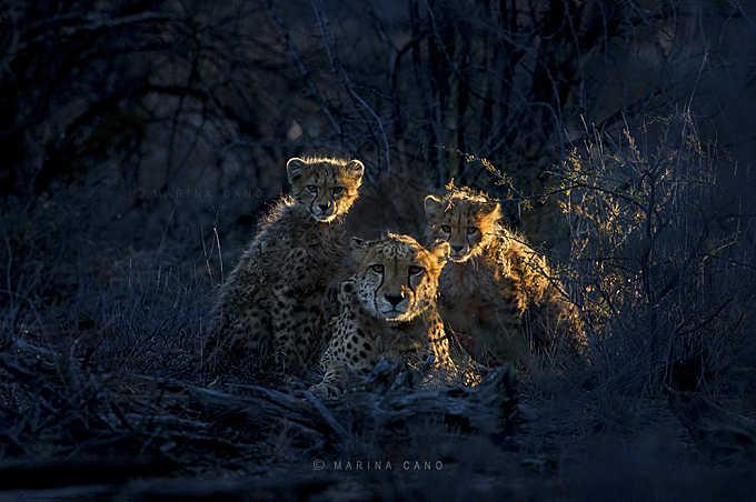 Jacomina & cubs