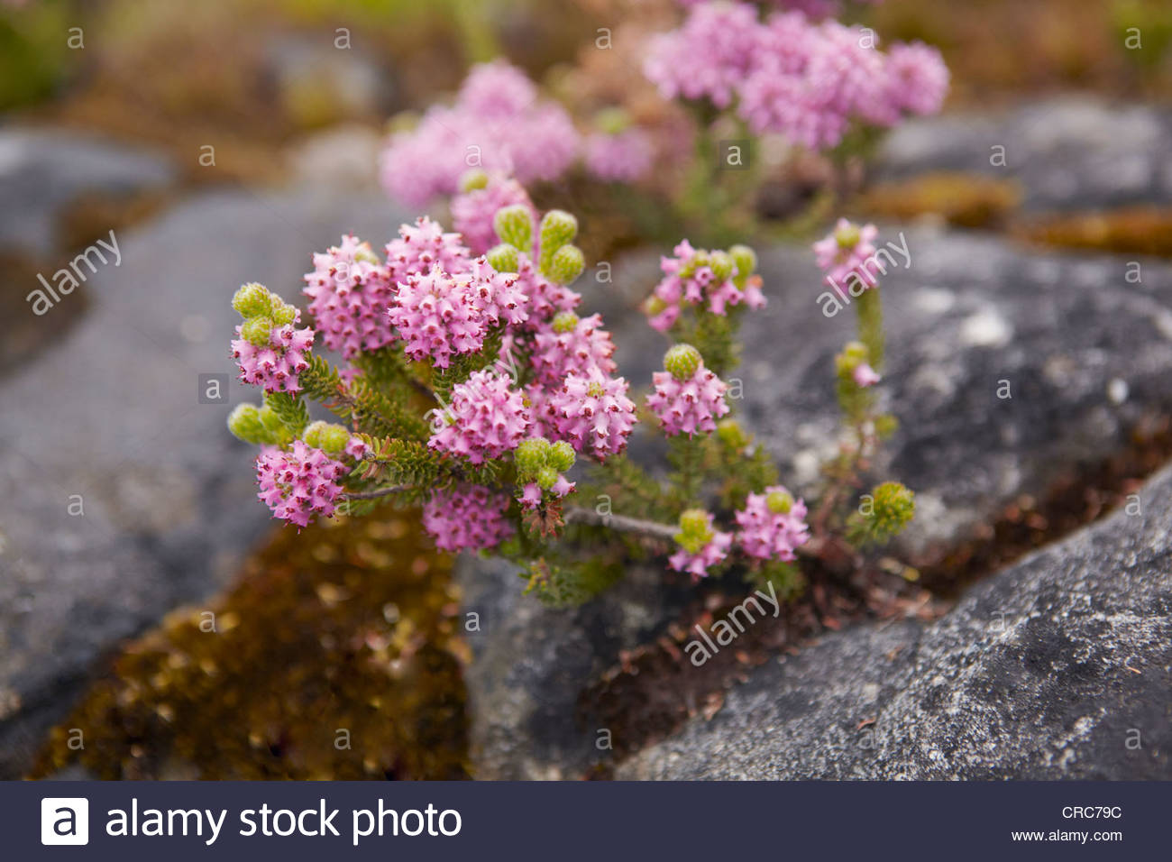 Close up of flowers growing in rocks - Stock Image