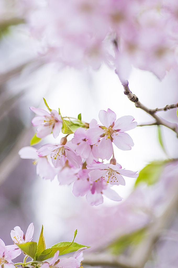 桜の花びらのフリー写真素材