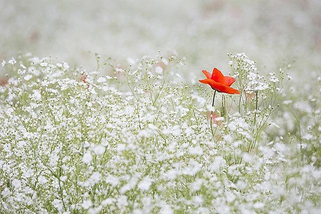 poppy gypsophila elegans red color white garden red flower white garden garden garden garden garden red