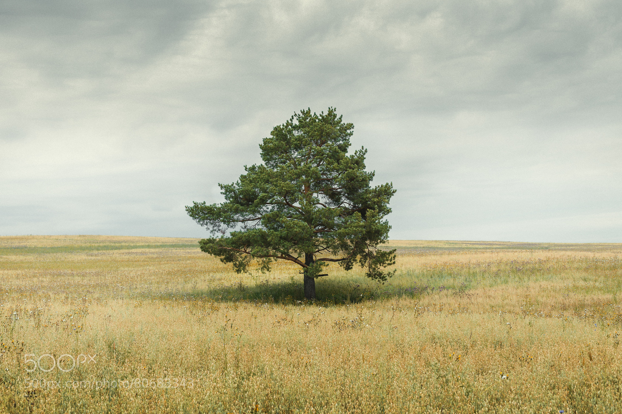 pine in the field