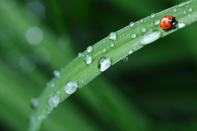 ladybug, drop of water, rain