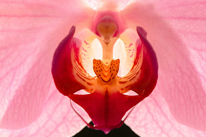 erotic orchid flower calling for passionate love