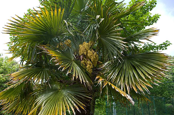 palm tree #1