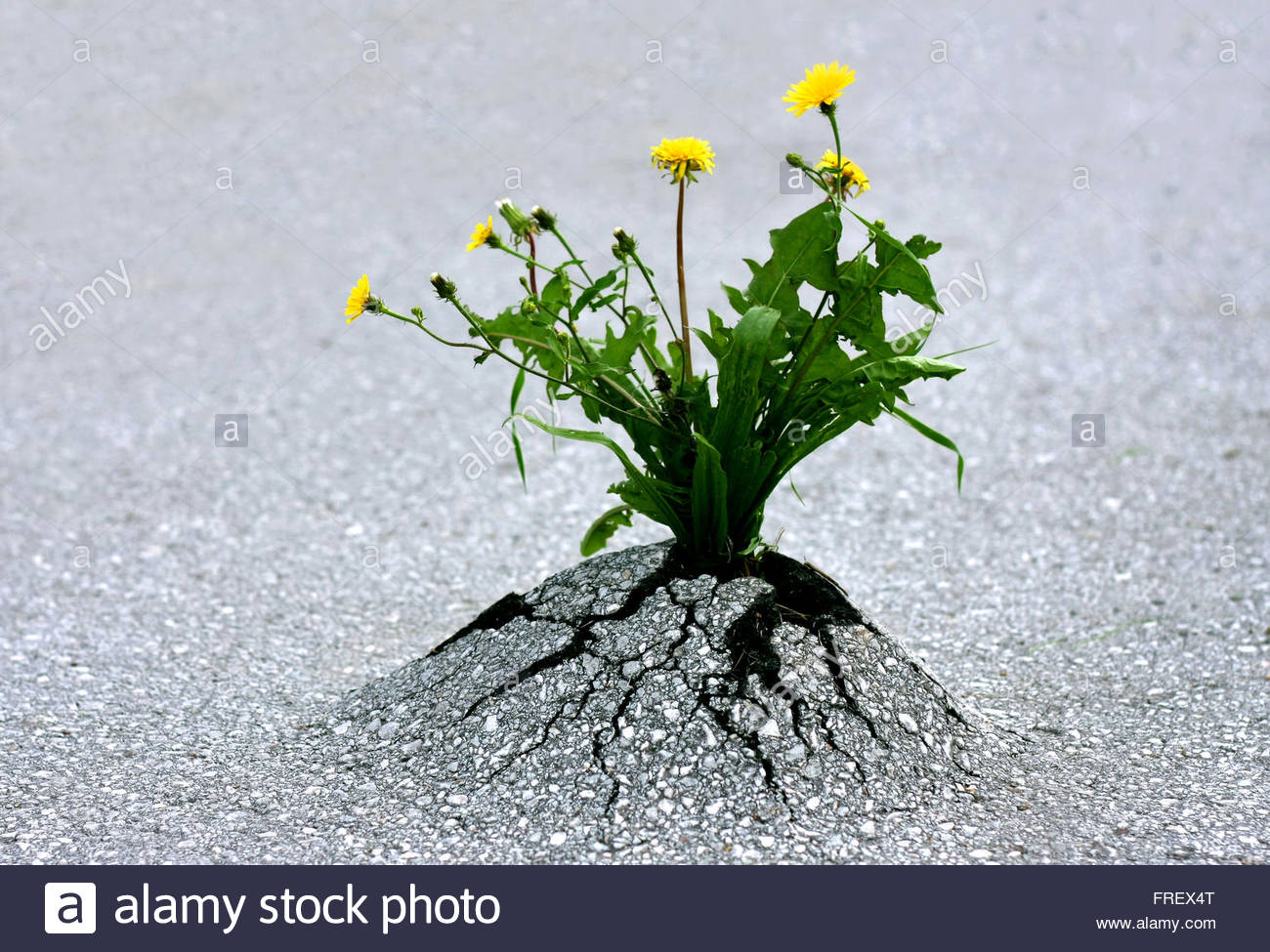Plants emerging through rock hard asphalt. Illustrates the force of nature and amazing achievements against all - Stock Image