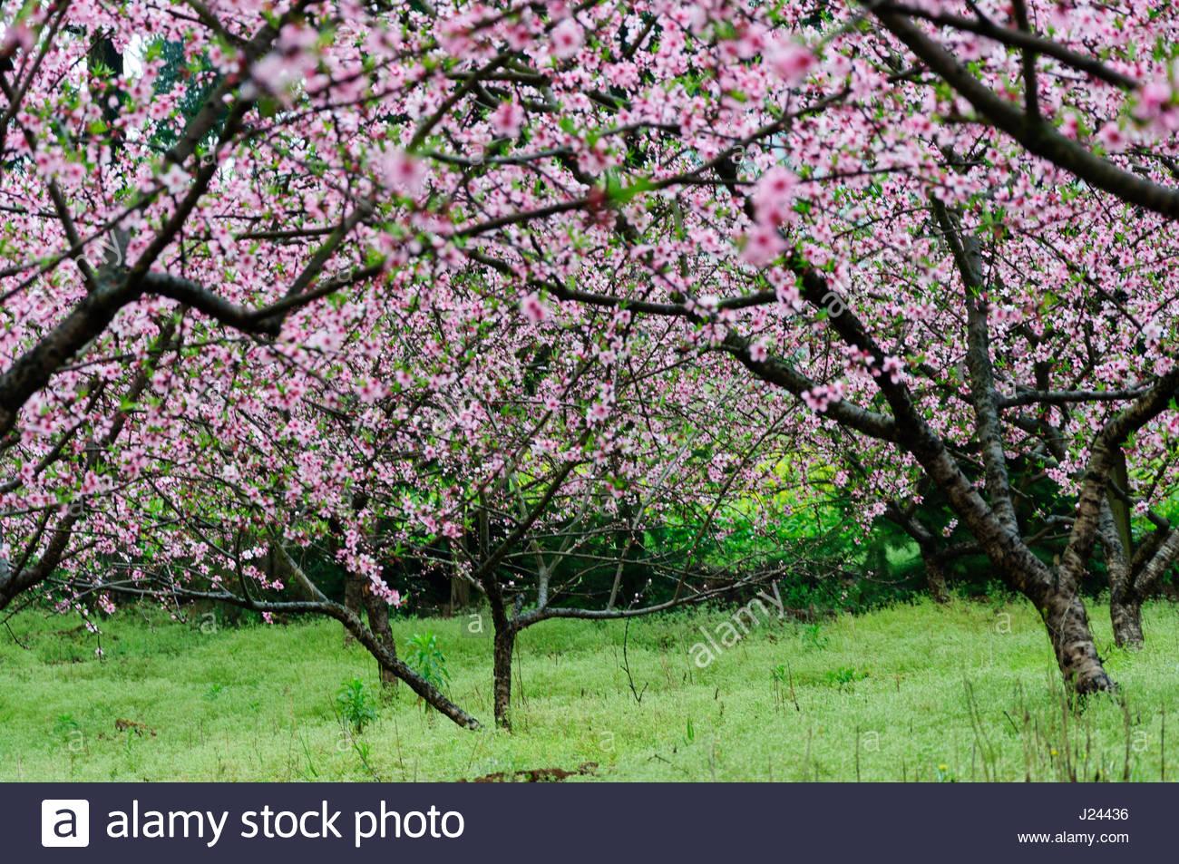 Beautiful peach flower fields scenery in the mist - Stock Image