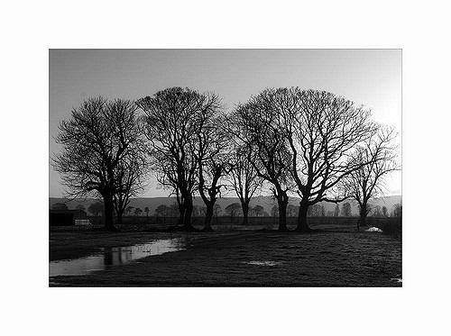 Morning Trees - Black and White