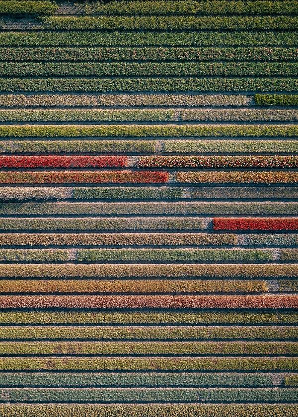 Aerial Series of Breathtaking Tulips