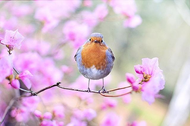 spring bird, bird, spring