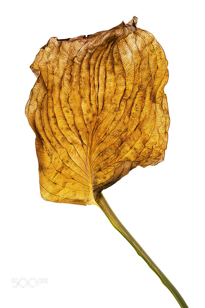 Dry exotic leaf isolated vertical.